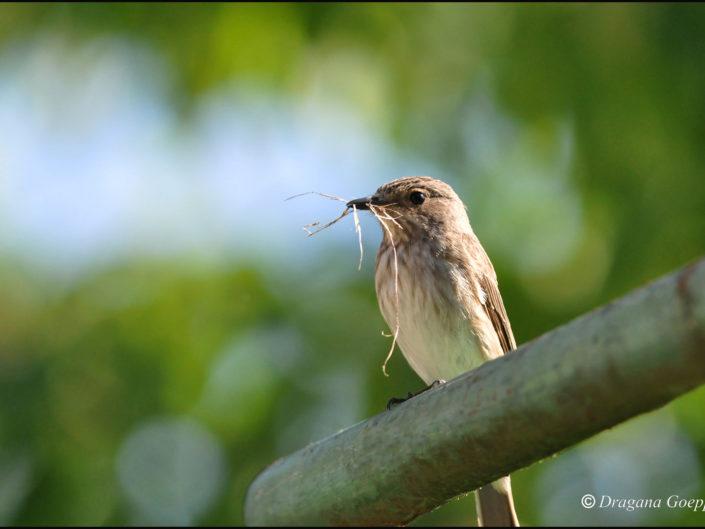 Autres passereaux archives oiseaux de france - Jardin des oiseaux petit quevilly ...