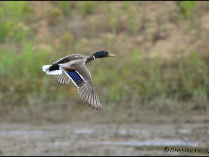 Atterrissage d'un canard colvert