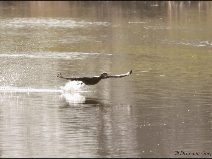 Cormoran en envol