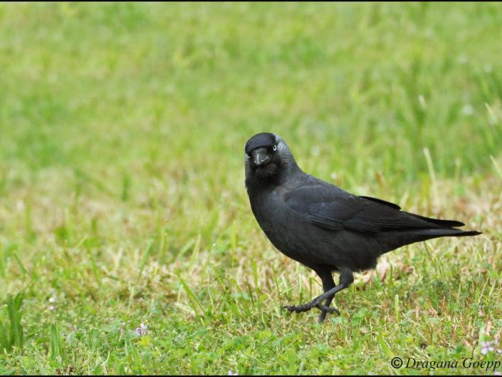 Les passereaux archives oiseaux de france for Oiseaux du sud de la france