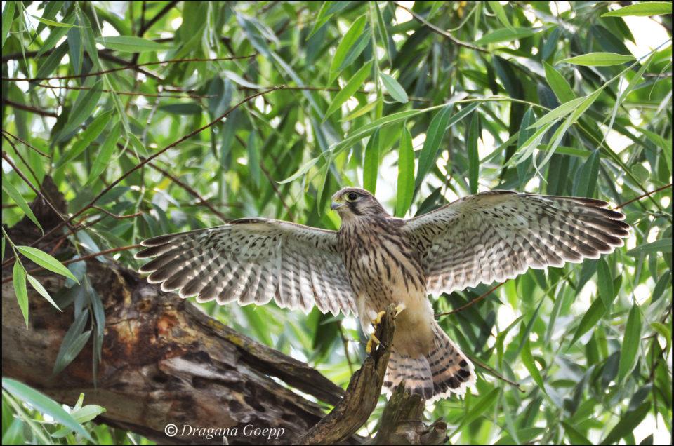 La couvée des faucons crécerelle