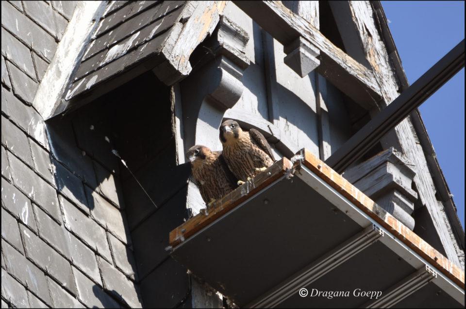 Les faucons pèlerins d'Illkirch